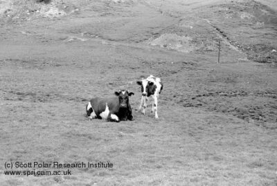 A cow (lying down) and calf in a field on the Grytviken dairy farm look towards the camera.