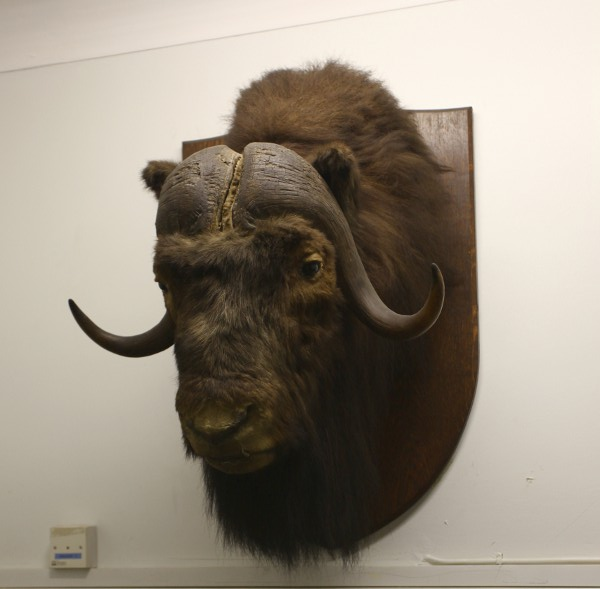 The musk ox is back on the wall and looks much cleaner now – though ...